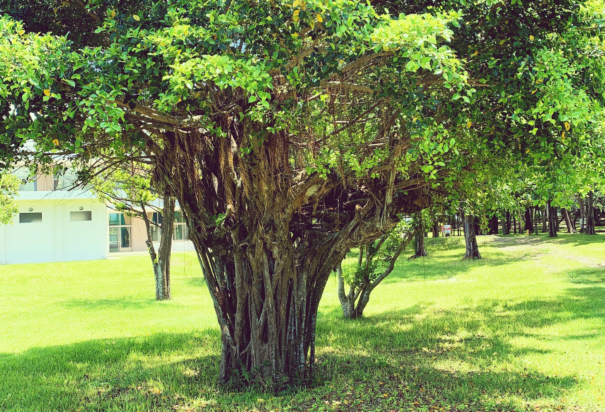 大きなガジュマルの木に見守られながら、元気に遊べる最高の環境~伊江村での子育て環境をご紹介・保育園&公園編~